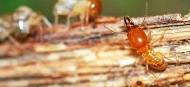 Termite Control in Chennai